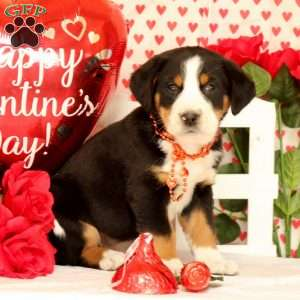 Picasso, Greater Swiss Mountain Dog Puppy
