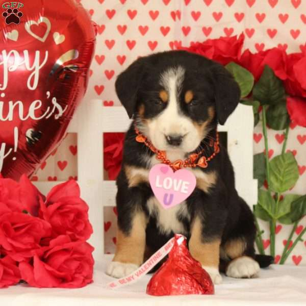 Piper, Greater Swiss Mountain Dog Puppy