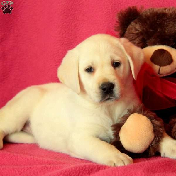 Pixie, Yellow Labrador Retriever Puppy