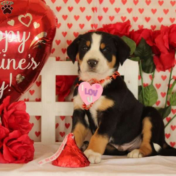 Pluto, Greater Swiss Mountain Dog Puppy