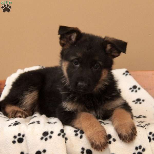 Prima, German Shepherd Puppy