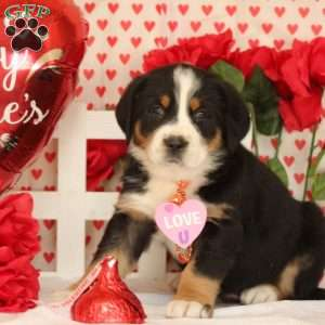 Puck, Greater Swiss Mountain Dog Puppy