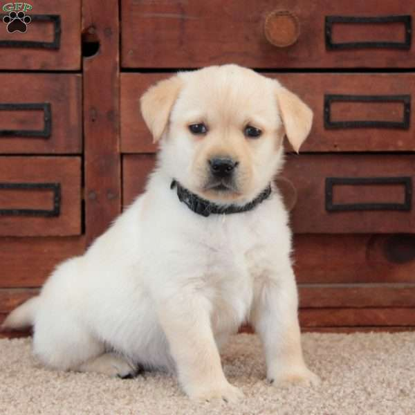 Rocky-English Lab, Yellow Labrador Retriever Puppy