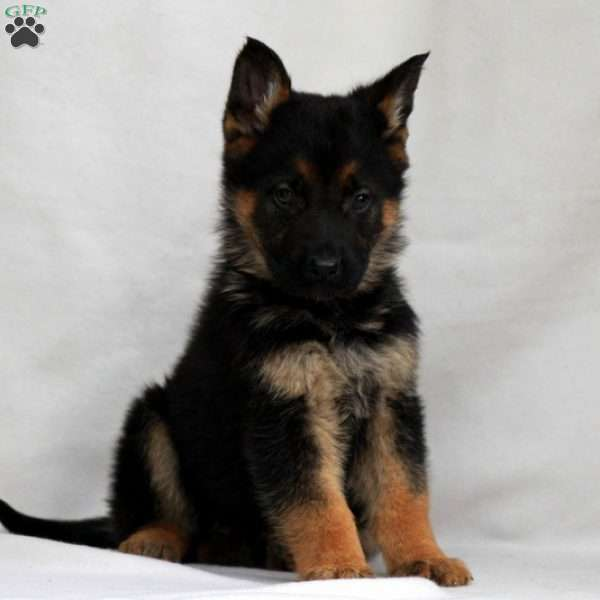 Rylee, German Shepherd Puppy