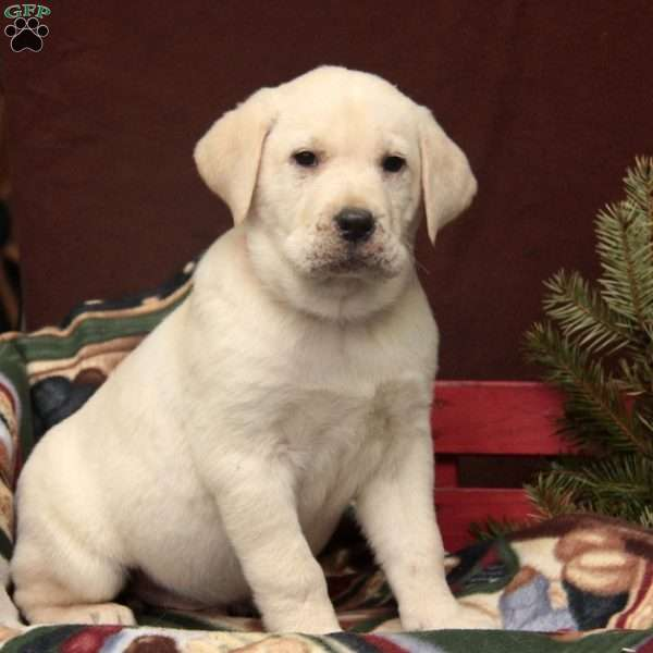 Samson, Yellow Labrador Retriever Puppy