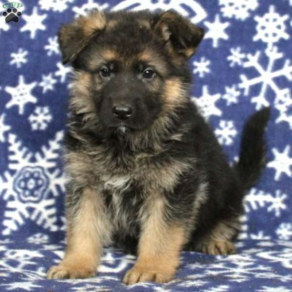 Samson, German Shepherd Puppy