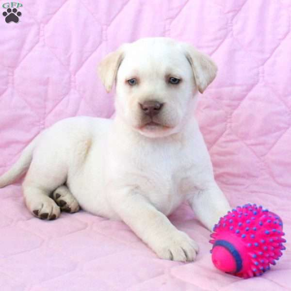 Snowflake, Yellow Labrador Retriever Puppy