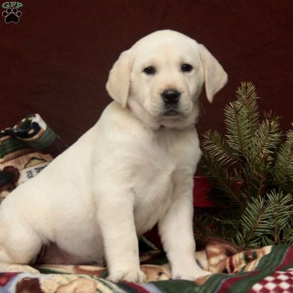 Sofie, Yellow Labrador Retriever Puppy