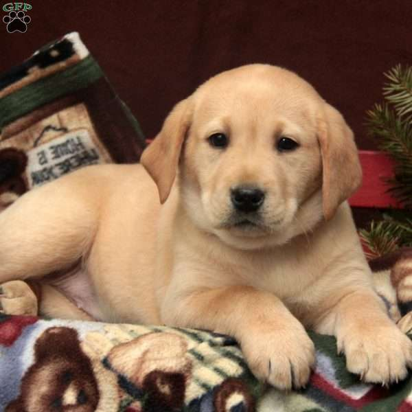 Stella, Yellow Labrador Retriever Puppy