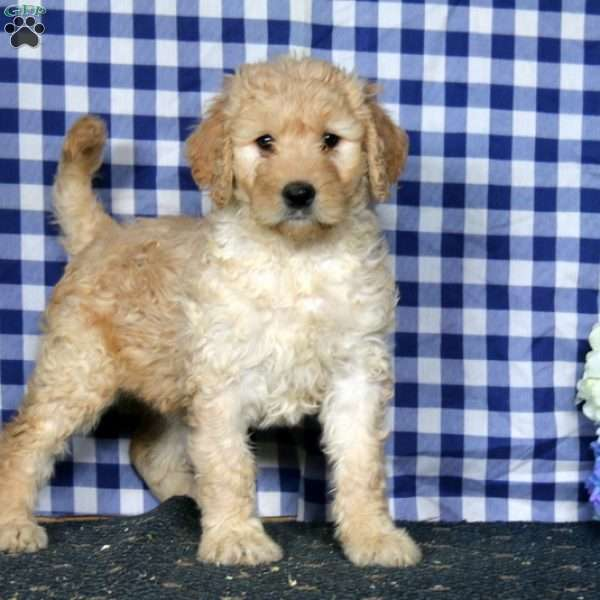 Sugar, Goldendoodle Puppy