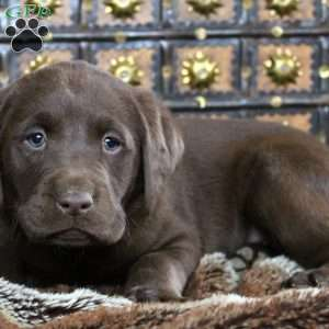 Tiffany, Chocolate Labrador Retriever Puppy
