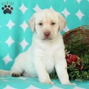 Tobias, Yellow Labrador Retriever Puppy