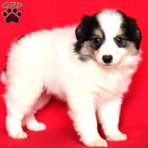 Travis, American Eskimo Mix Puppy