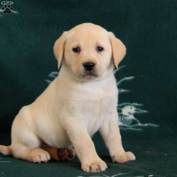 Trest, Yellow Labrador Retriever Puppy