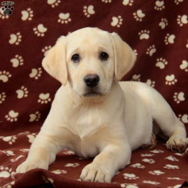 Trudy, Yellow Labrador Retriever Puppy