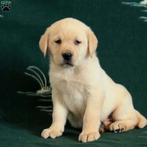 Tucker, Yellow Labrador Retriever Puppy