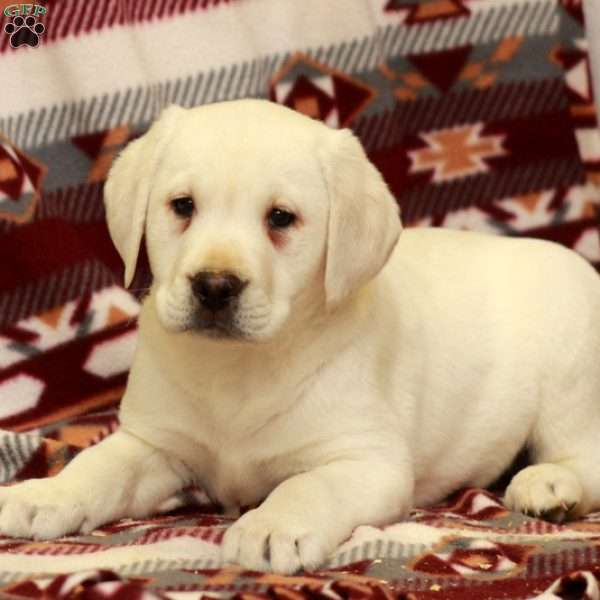 Watson, Yellow Labrador Retriever Puppy