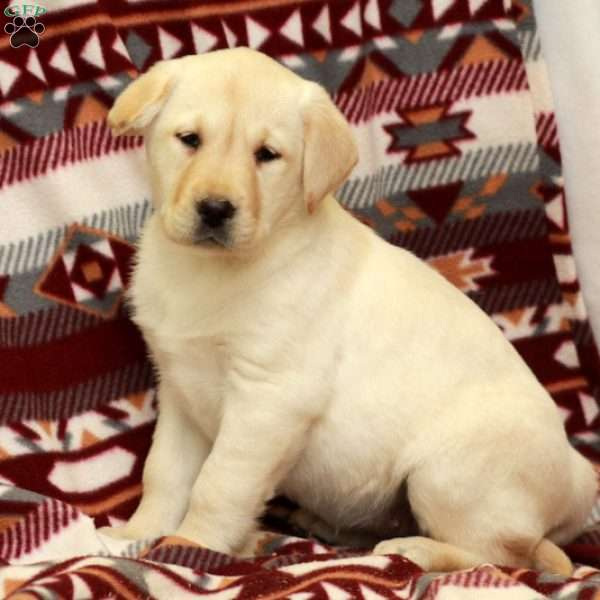 Wendy, Yellow Labrador Retriever Puppy