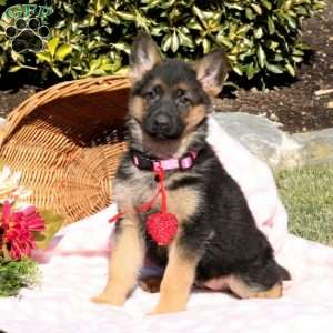 Wendy, German Shepherd Puppy