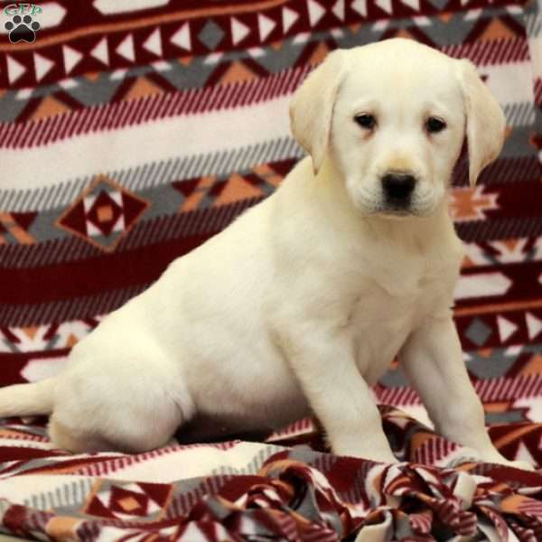 Whinnie, Yellow Labrador Retriever Puppy