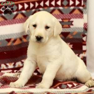 Wiley, Yellow Labrador Retriever Puppy