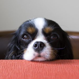 cute spaniel puppy begging at the table