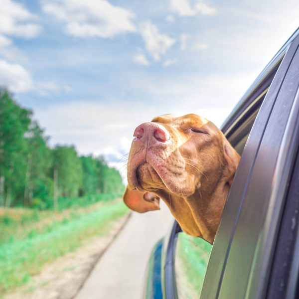 maryland dog-friendly travel guide - vizsla dog sticking head out of car window