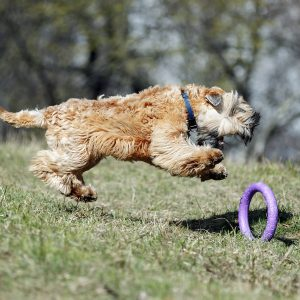 soft-coated wheaten terrier chasing toy across grass