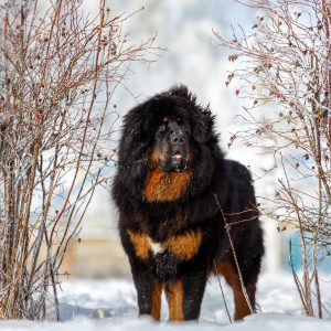 things to know about tibetan mastiffs - tibetan mastiff in snow