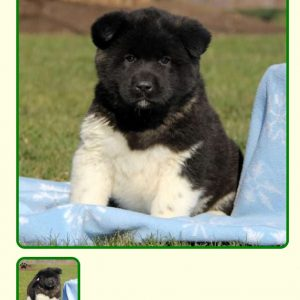 Reviews Amp Testimonials Puppy Pictures Amp Stories Greenfield Puppies