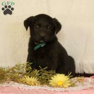 Abbie, Black Labrador Retriever Puppy