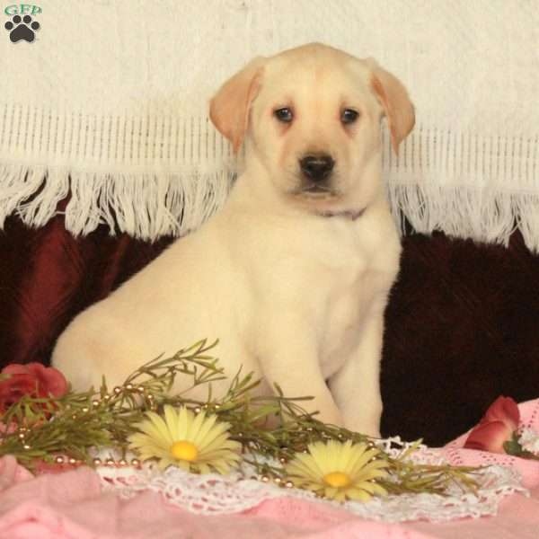 Abraham, Yellow Labrador Retriever Puppy
