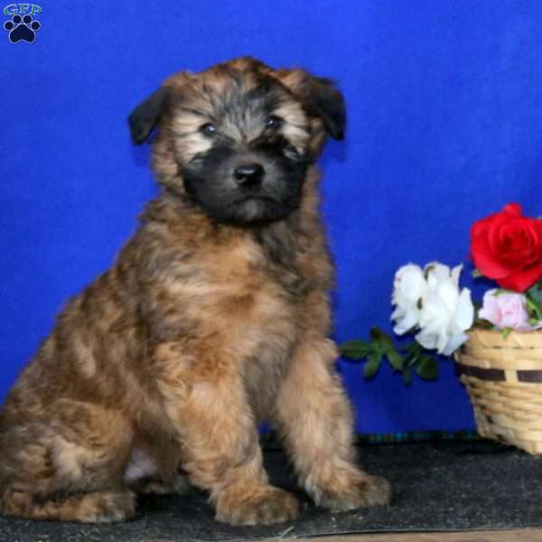 Ace, Soft Coated Wheaten Terrier Puppy