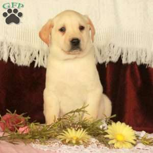 Addison, Yellow Labrador Retriever Puppy