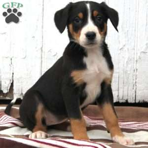 a Greater Swiss Mountain Dog puppy named Adele