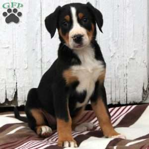 a Greater Swiss Mountain Dog puppy named Alison