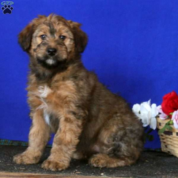 Wheaten Mix Puppies Goldenacresdogs Com