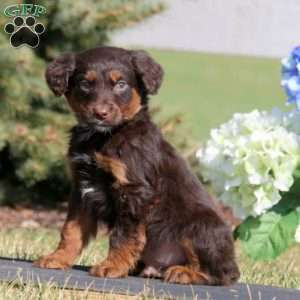 a Aussiedoodle puppy named Andy