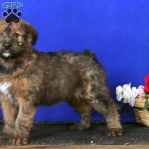 Angel, Soft Coated Wheaten Terrier Mix Puppy