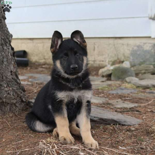 Aria, German Shepherd Puppy