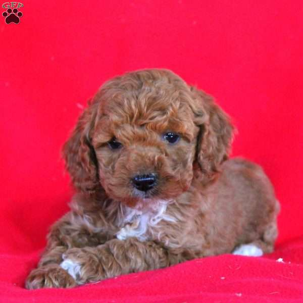 Asher, Cockapoo Puppy