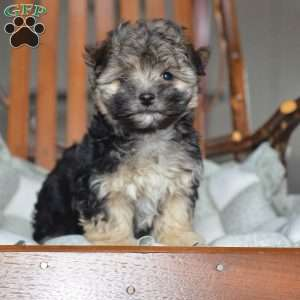a Morkie / Yorktese puppy named Bella