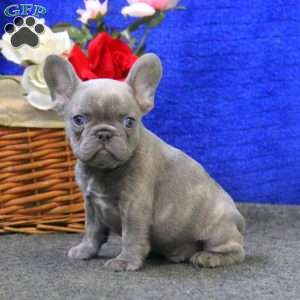 Benji – Lilac Color, French Bulldog Puppy
