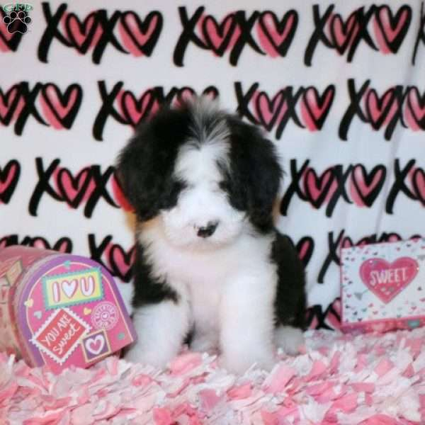 Bennie Bear, Sheepadoodle Puppy