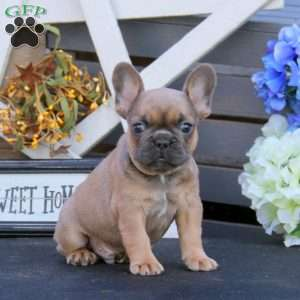 a French Bulldog puppy named Blue Chocolate