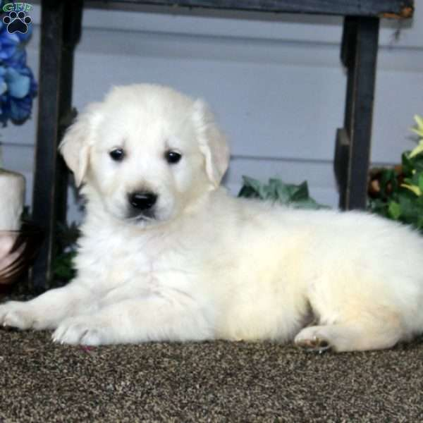 Buddy, English Cream Golden Retriever Puppy
