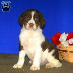 a English Springer Spaniel Mix puppy named Buff