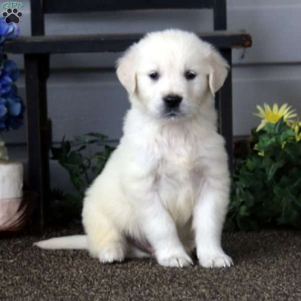 Buffy, English Cream Golden Retriever Puppy