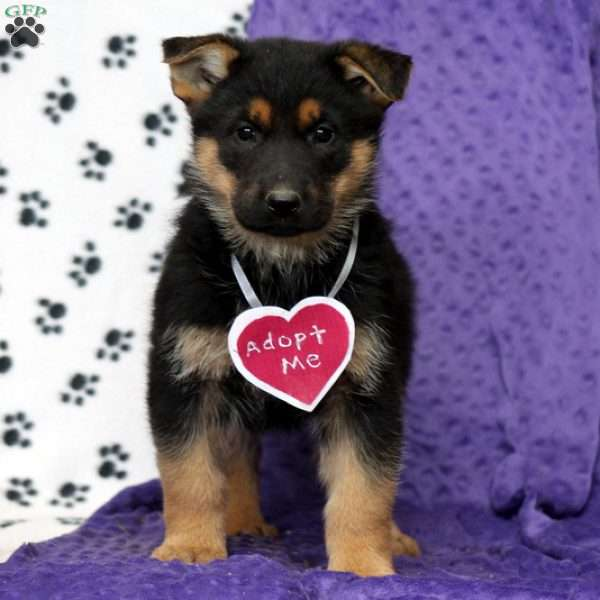 Caddi, German Shepherd Puppy