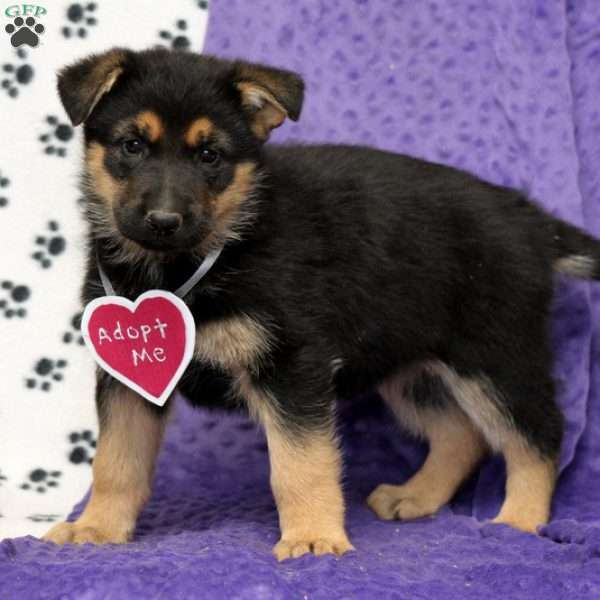 Caley, German Shepherd Puppy